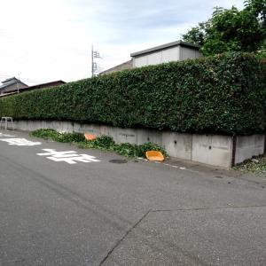 公道側の生け垣の刈り込み