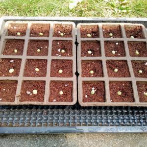 枝豆の種蒔き