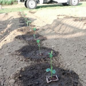 朝飯前に枝豆の苗を植えました