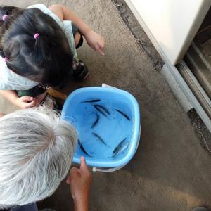 姫孫と婆さんとバケツの魚