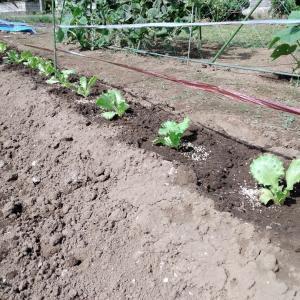 レタスの苗を植えました