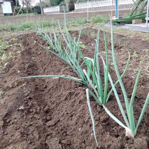 分けつ葱の土上げ
