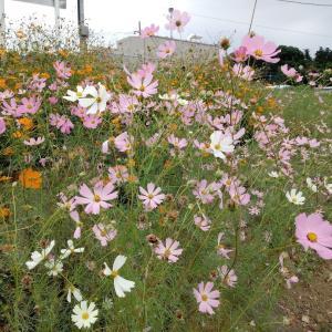 当地はコスモスの花盛り