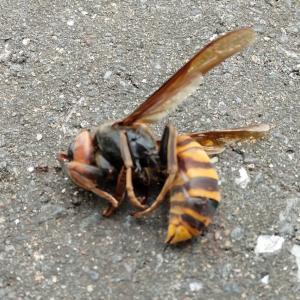 蜂が目の前に落ちて来た