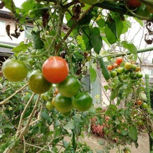 庭先菜園のミニトマト