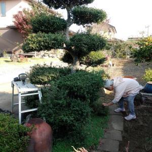柘植の木の刈り込み