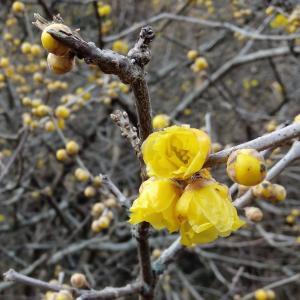 四季の森に蝋梅を見に