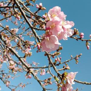 河津桜が咲いていた