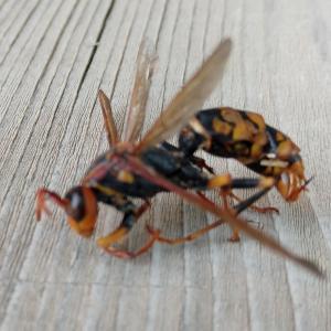 アシナガバチの駆除、序章