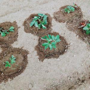 苺の苗を植え替えて草刈り