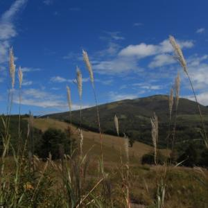 草原のカセンソウ