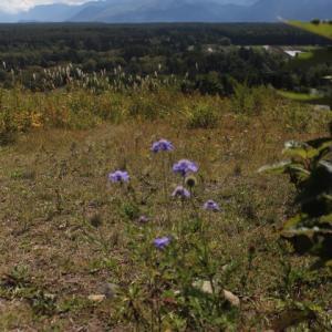 草原の名残り花