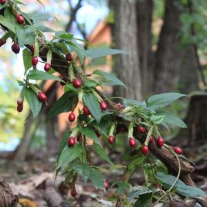 秋めいて~ツルリンドウの赤い実