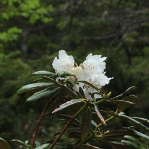 純白のシャクナゲ