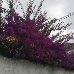 【南欧の植物に癒される】ポルトガルの植物図鑑