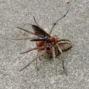 スパイダーワスプ(蜘蛛食いスズメバチ)の話