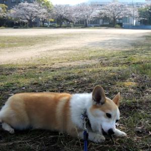 散歩は桜の公園へ!