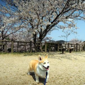 桜は満開に…