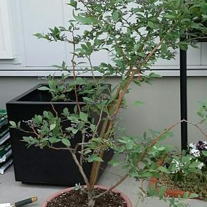 ポチレポ☆わが家の植木鉢🌴