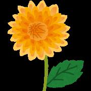 【画像有り】大輪ダリアが開花するまでレポート