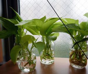 【画像有り】ワイ、観葉植物の増殖に成功する!