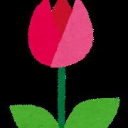 毎年この時期凍傷になるチューリップが暖冬のおかげかすくすく育ってる 今春は100%咲きそうで楽しみ