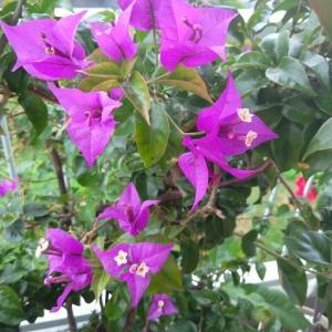 【ブーゲンビリア】なかなか花が咲かなかった原因が判明して今年は絶好調だわ