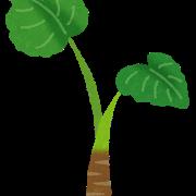 クワズイモは観葉植物扱いなのに里芋はそうはならない不思議