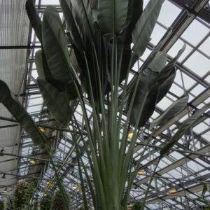 【巨大観葉】ストレリチアニコライを6号鉢に植えてるとか虐待レベル
