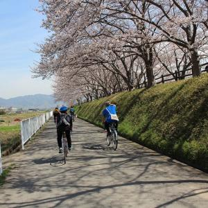 お花見乱・天理の枝垂れ桜