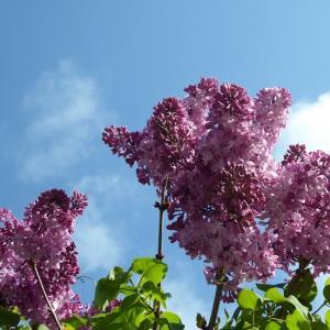 花咲乱れる五月  ~ライラック、リキュウバイ、ヒメリンゴ、シャガ~