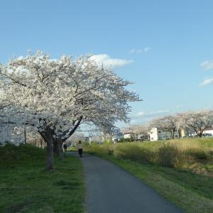 草生津川沿いの桜