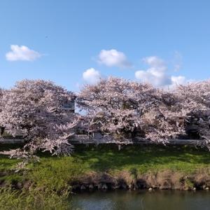 太平川沿 お花見