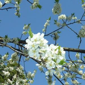 リンゴ & 梨 の花
