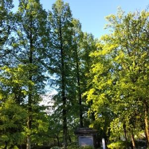 早朝の公園でアオゲラを追う
