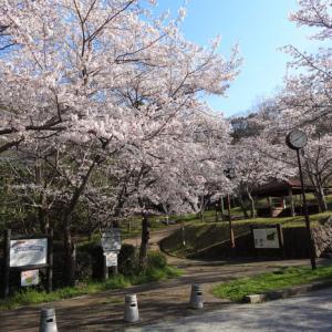 烏帽子形公園の桜が満開です