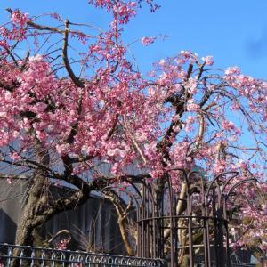 桜満開の入学式