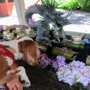 犬連れ紫陽花