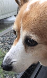 """コーギー犬 """"kuniko"""" の終活"""