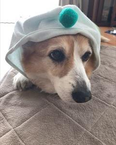 膿皮症~犬の服サイズ リベンジの巻