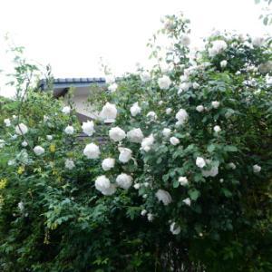 バラと他咲いているお花
