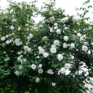 咲き乱れるトンネルのバラ