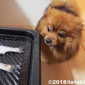 『僕の魚だよ!』ポメラニアンの多頭飼いブログ