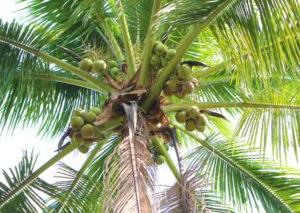 5月7日は、ココナッツの日