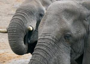 1729年4月28日は、「象の日」