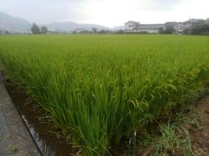 今年のお米はどうかな