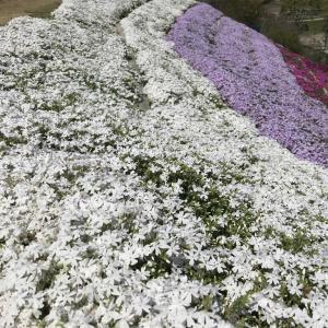 芝桜を見てきた話