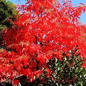 スズランの木の紅葉 (^^♪