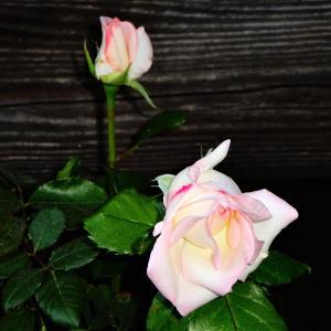 薔薇咲き出してます^^
