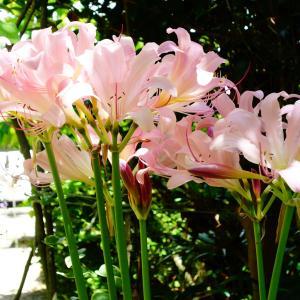 夏水仙咲いてます。